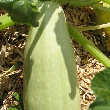 Courgette Blanche d'Egypte (zaad)