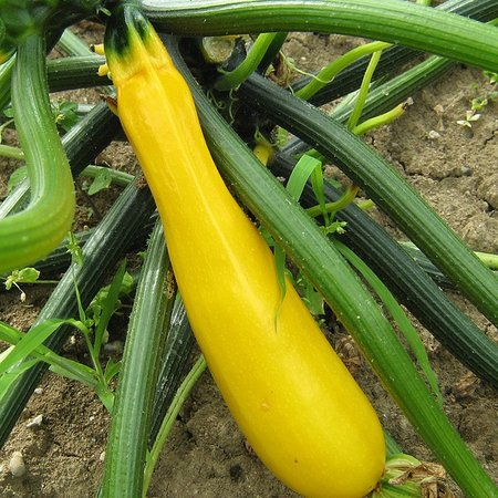Courgette Gold Rush (zaad)