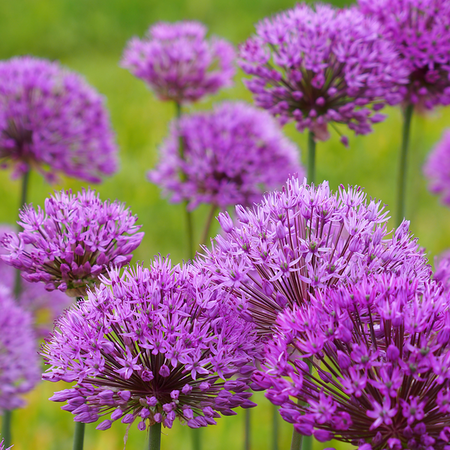 Allium 'Purple sensation'