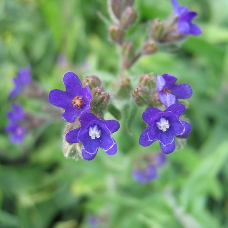Anchusa officinalis
