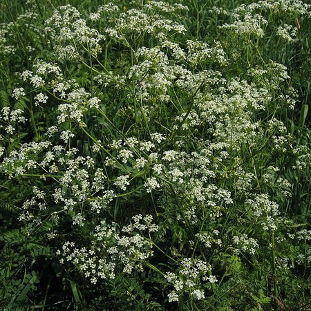 Anthriscus sylvestris