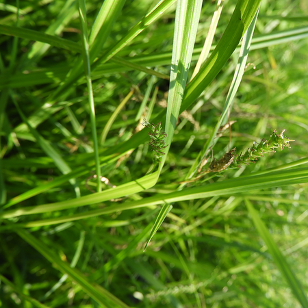 Carex sylvatica