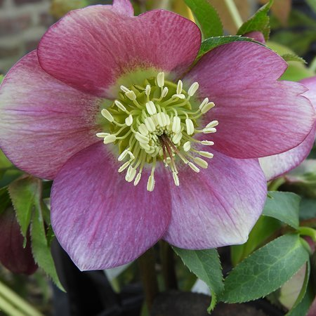 Helleborus orientalis 'mixed colours'