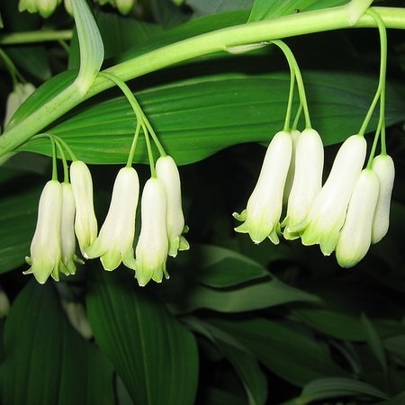 Polygonatum multiflorum