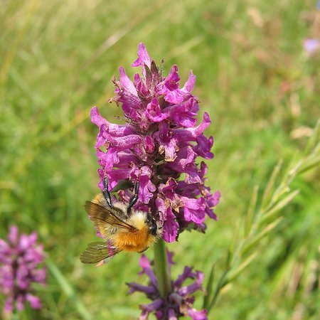 Stachys officinalis