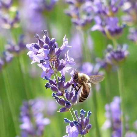 Lavandula officinalis (