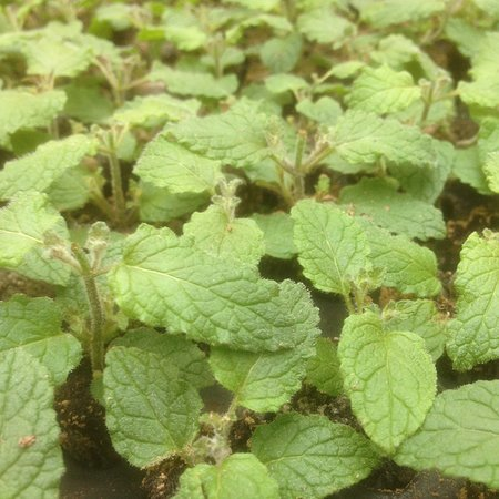 Mentha arvensis 'Strawberry'