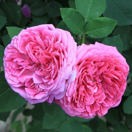 Rosa x damascena