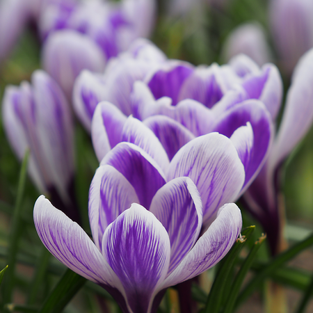 Crocus Vernus 'King of the Striped' (bulbe)