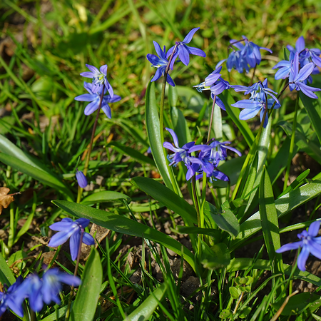(*) bb-Scilla siberica Be-BIO-01