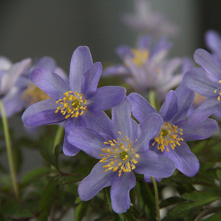 Anemone nemorosa 'Royal Blue' (bol)
