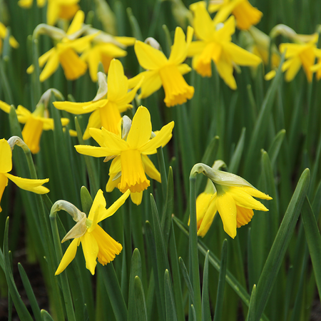 Narcissus 'February Gold' (bulbe)