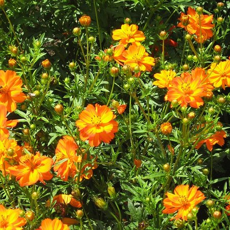 Cosmos Orange / Oranje (zaad)