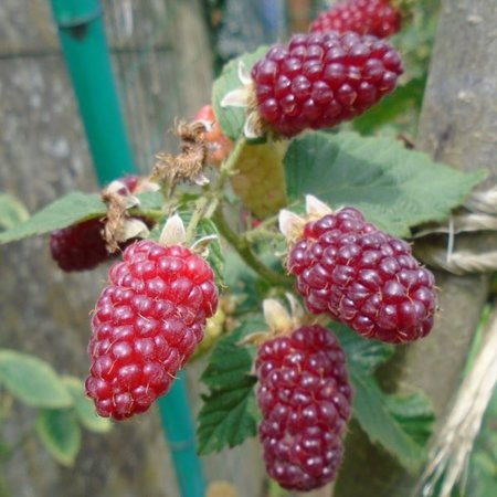Braamboos 'Tayberry'