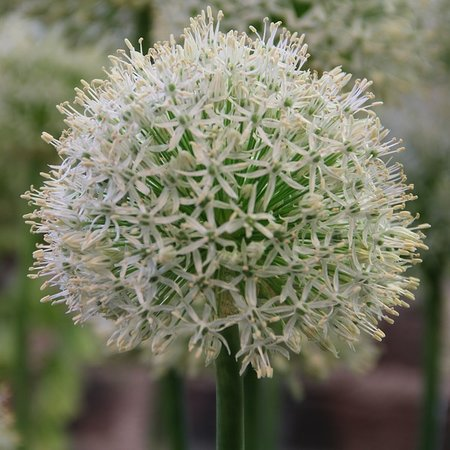 Allium'Mount Everest'  (bol)