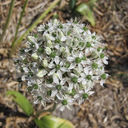 Allium'Mount Everest'  (bulbe)