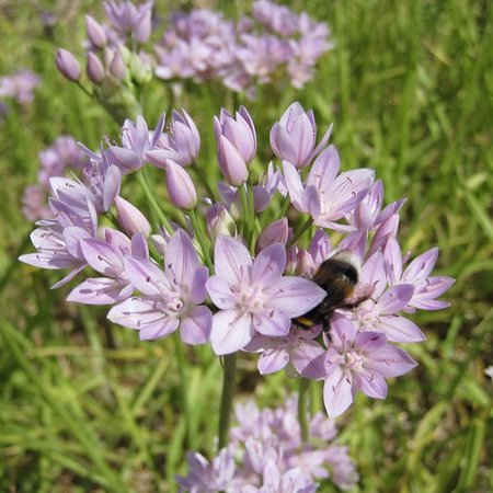 Allium unifolium  (bulbe)