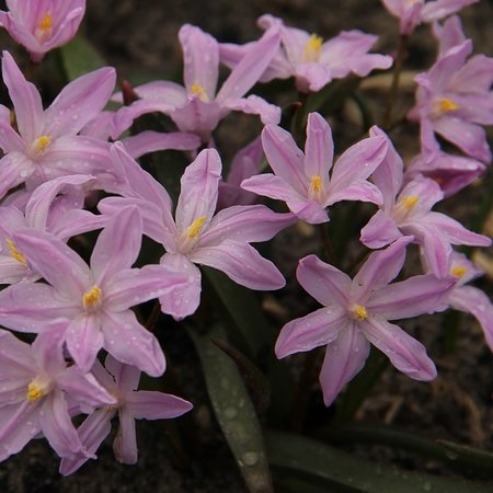 Chionodoxa lucilae 'Rose Queen' (bulbe)