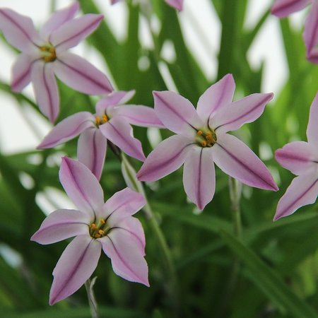 Ipheion uniflorum ' Tessa' (bol)