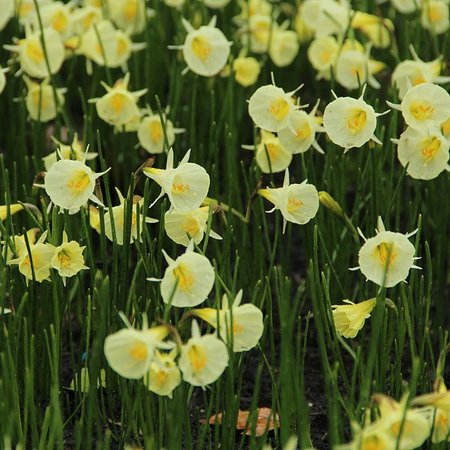 Narcissus bulbocodium 'Spoirot' (bulbe)